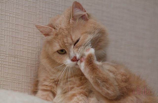 В течение своей жизни коты неоднократно пробуют свои когти на зуб