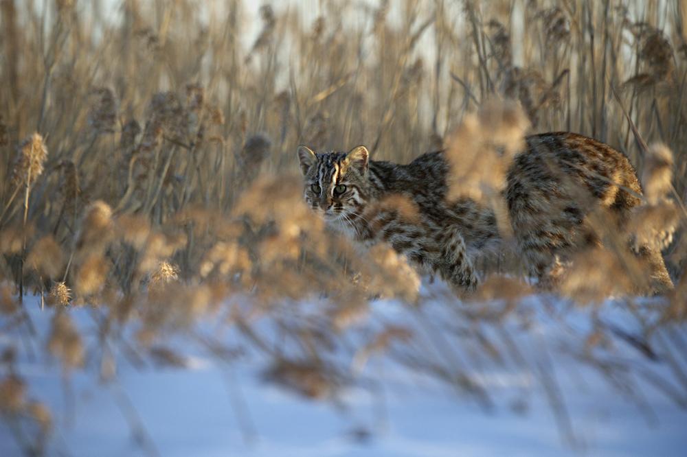 В холодные месяцы острое обоняние спасало амурских котов от голодной смерти