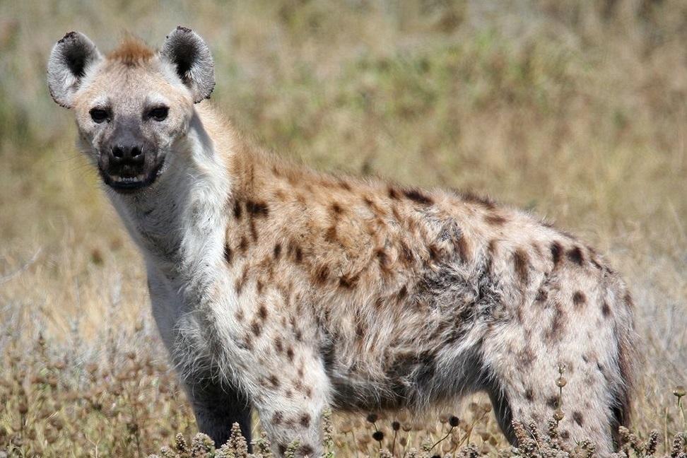Гиены являются легкой добычей для львов, гепардов и других представителей семейства кошачьих