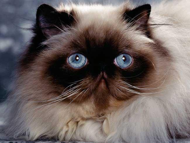 Гималайские кошки очень уравновешены и покладисты, предпочитают переключениям колени хозяина
