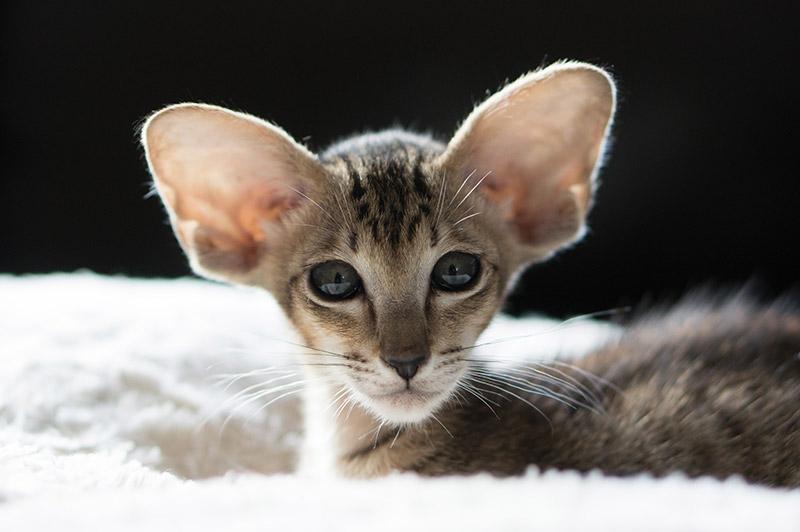 Самые красивые породы кошек которые не линяют и подходят аллергикам