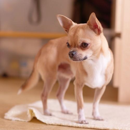 Гипогликемия - одна из причин дрожи у миниатюрных собак