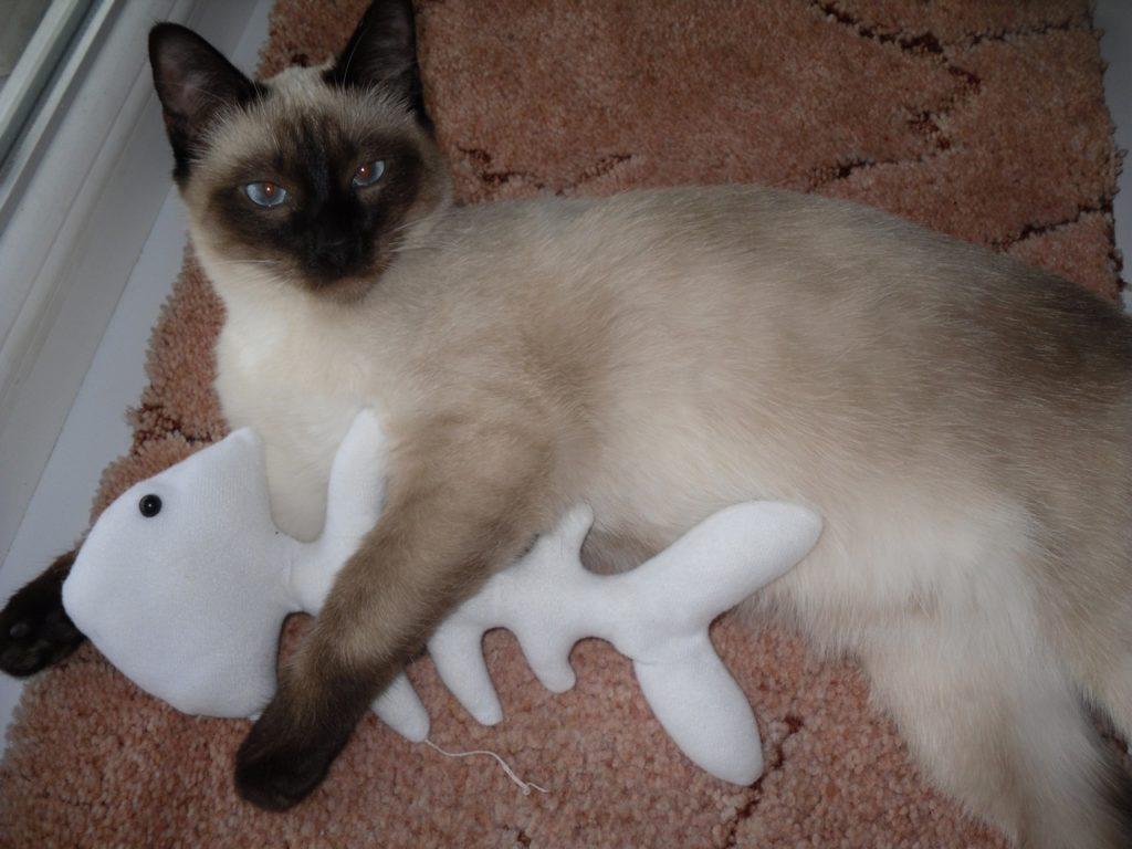 Главный принцип содержания сиамской кошки в доме - не давать ей заскучать