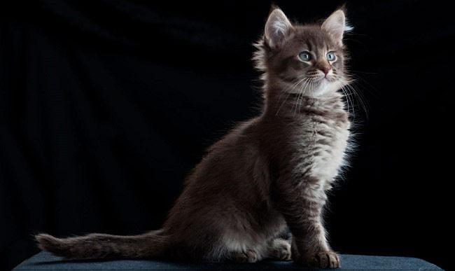 Говорят, что первый ла-перм родился у обычной дворовой кошке в Орегоне