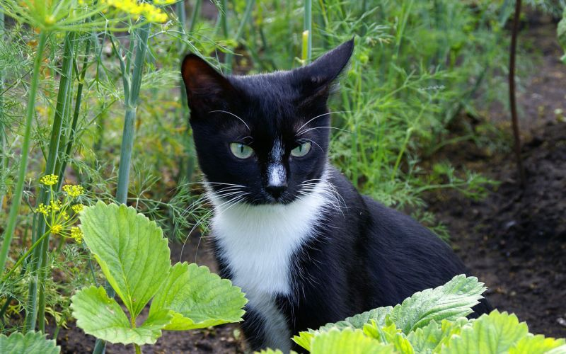 Грядки издавна пользовались большим спросом у кошачьих