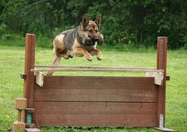 Даже нежестких тренировок хватит для того, чтобы собака была вымуштрована