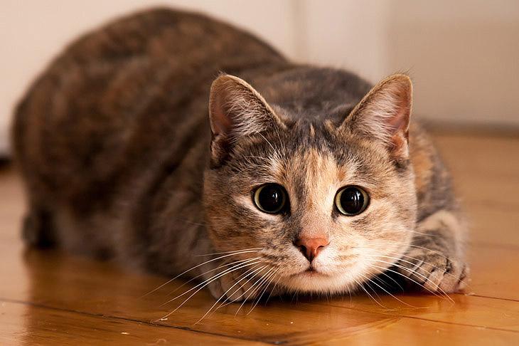 Даже по окончанию лечения кошка является переносчиком вируса герпеса в течение нескольких недель