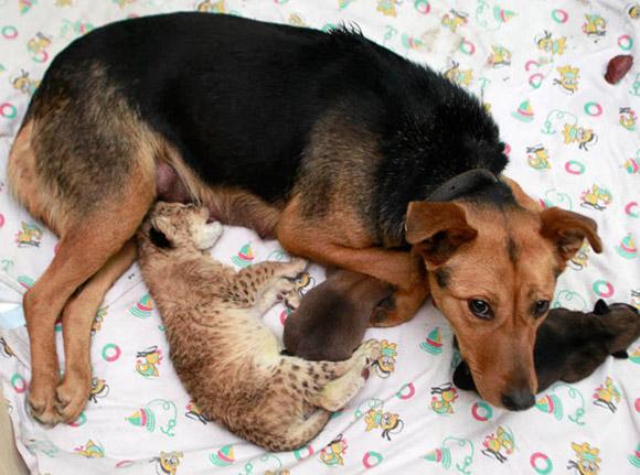 Дворняг очень часто исползуют в качестве кормилиц для малышей других животных
