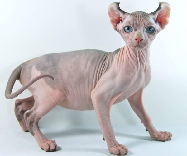 Действительно, при виде такого кота ассоциация с эльфами приходит в первую очередь