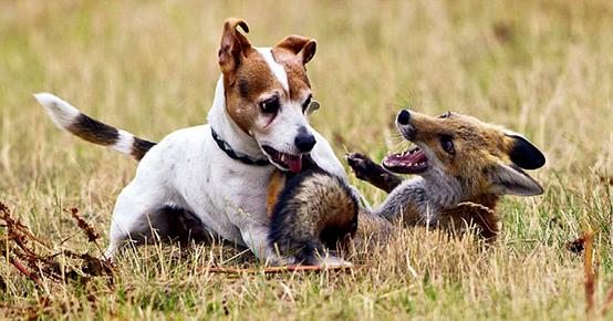 Джек-рассел-терьер охотятся в основном на лис