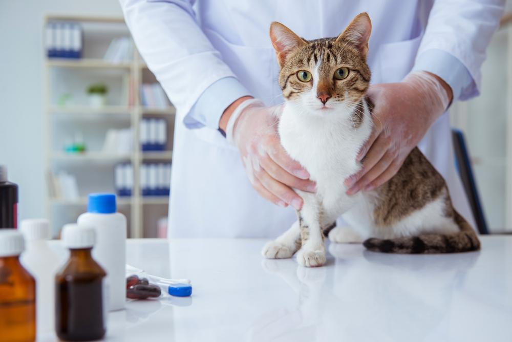 Установление точного возраста кошки производится ветеринаром в условиях ветклиники