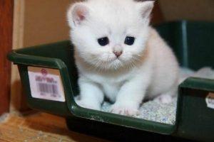 Диарея у котят требует лечения только при наличии иных симптомов нарушений в ЖКТ