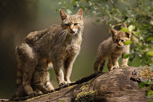 Дикая кошка из лесов Европы