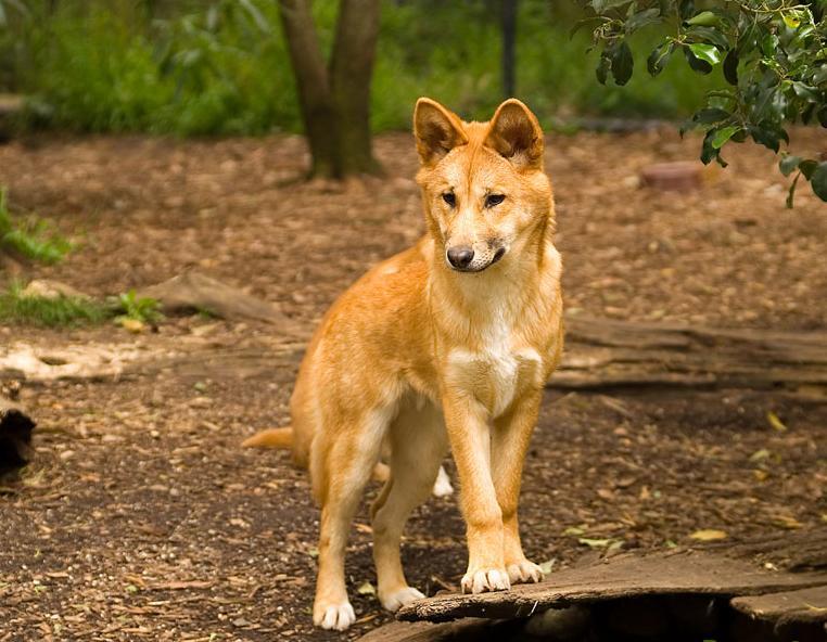 Динго грациозные собаки и великолепные охотники
