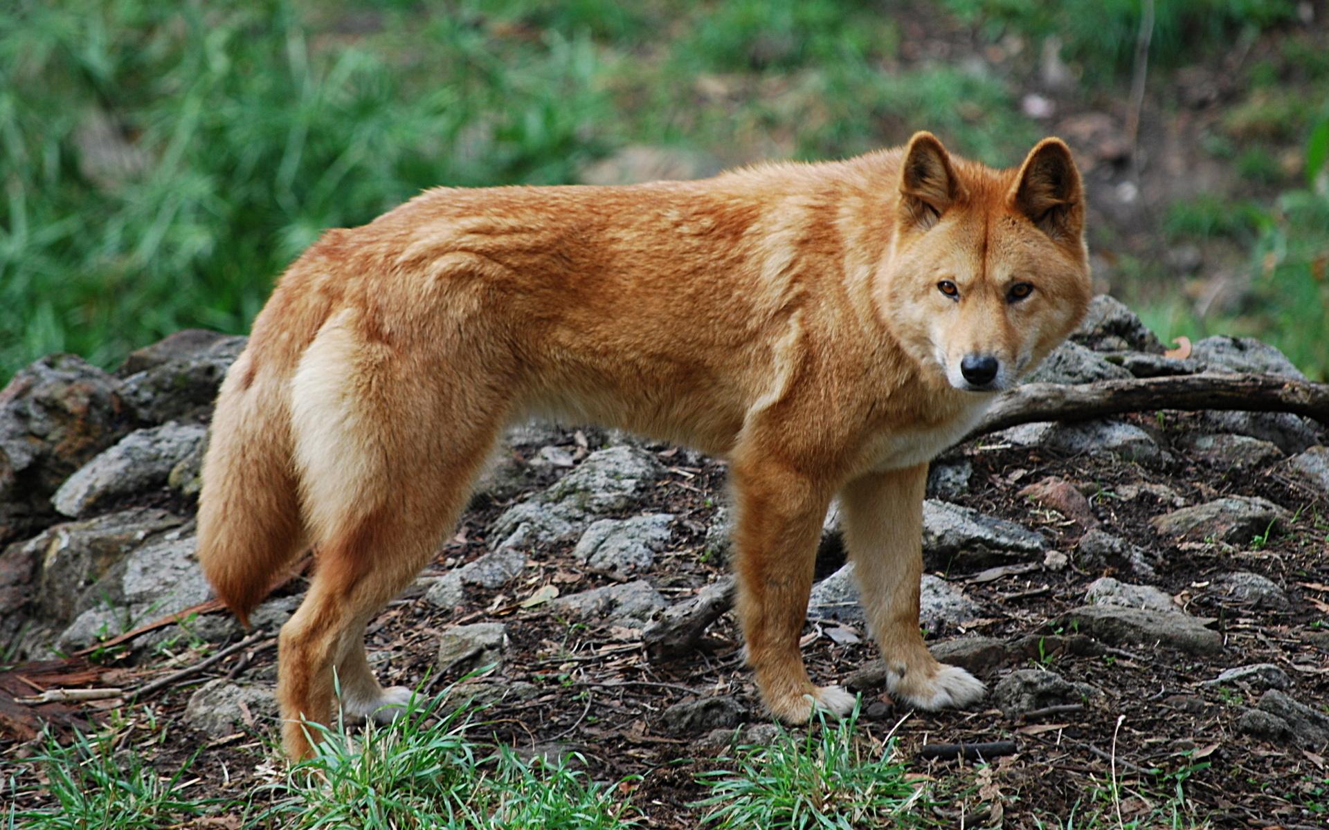 Динго считаются потомками волка