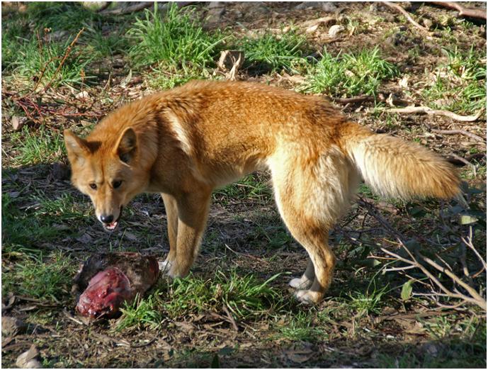 Динго хищники, поэтому мясо основной рацион