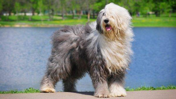Длинная шерсть у собаки не всегда является спусковым крючком для обострения аллергии у человека
