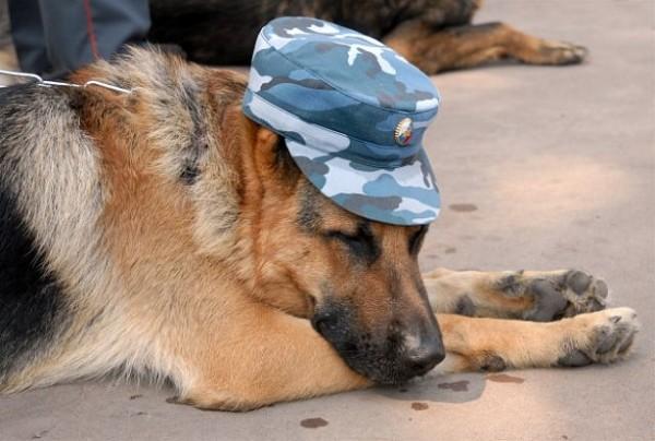 Для перевозки служебным собак не предполагается никаких дополнительных льгот