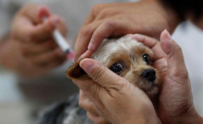 Для получения ветеринарного документа хозяин должен предоставить свидетельства о прививках и отсутствии глистов