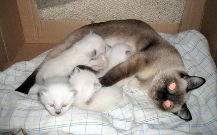 Для родов и последующего содержания котят важно подготовить тихое и закрытое от посторонних глаз место