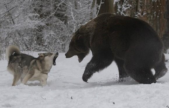 Драка восточно-сибирской лайки и медведя