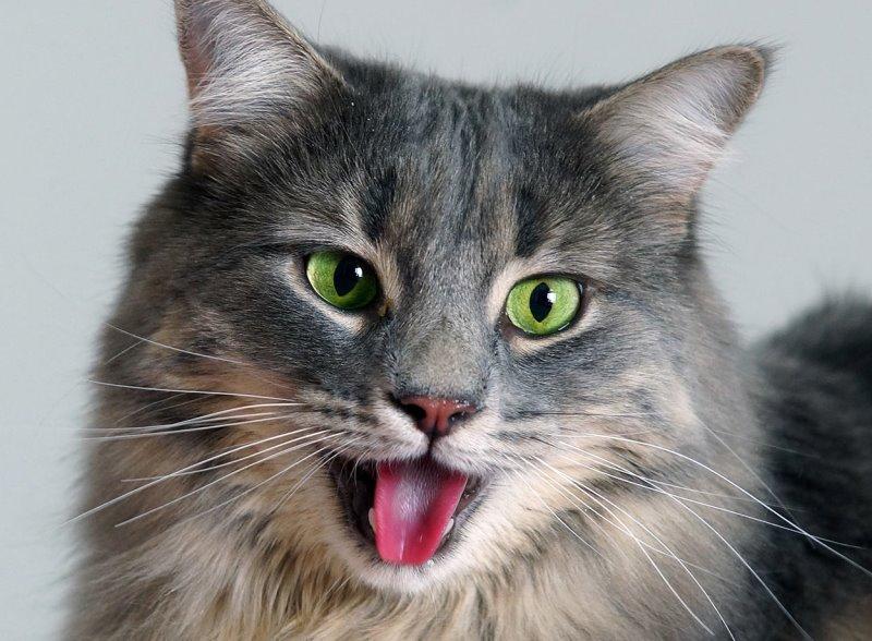 Дыхание у кошки может нарушиться из-за психоэмоционального стресса