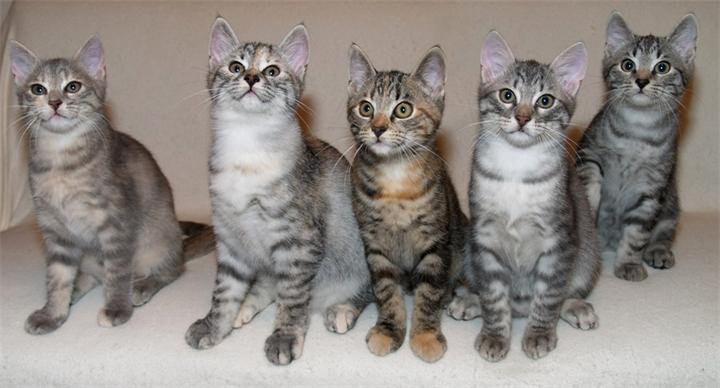 Европейские короткошерстные кошки отличаются крепким здоровьем
