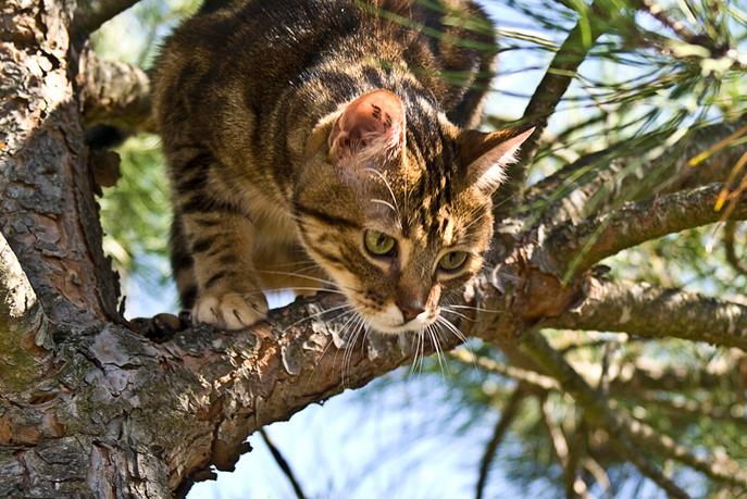 Европейская кошка — потомок кошек, которые первыми поселились рядом с человеком