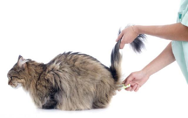 Единственный действенный метод измерения температуры у кошек - ректальный