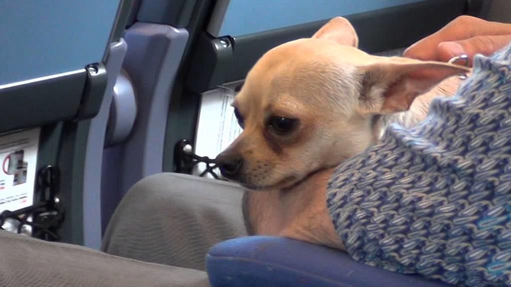Едущие в Украину и Беларусь мелкие собаки оплачиваются как багаж
