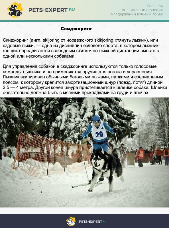 Езда с собакой на лыжах - скиджоринг