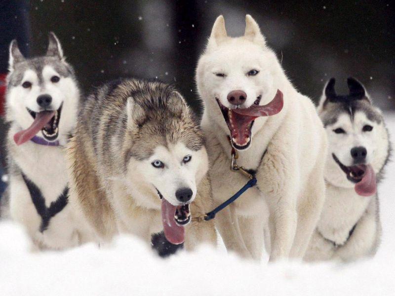 Ездовые собаки необычайно резвы и выносливы