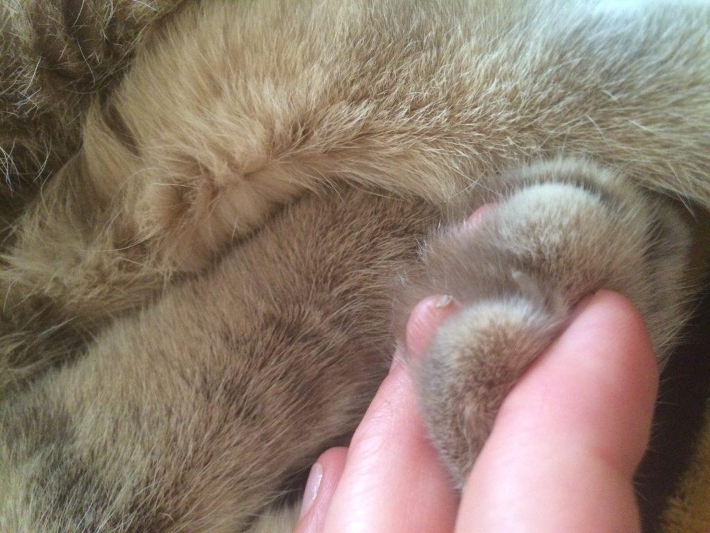 Если вы возьметесь за подушечку правильно, кот непременно выпустит когти