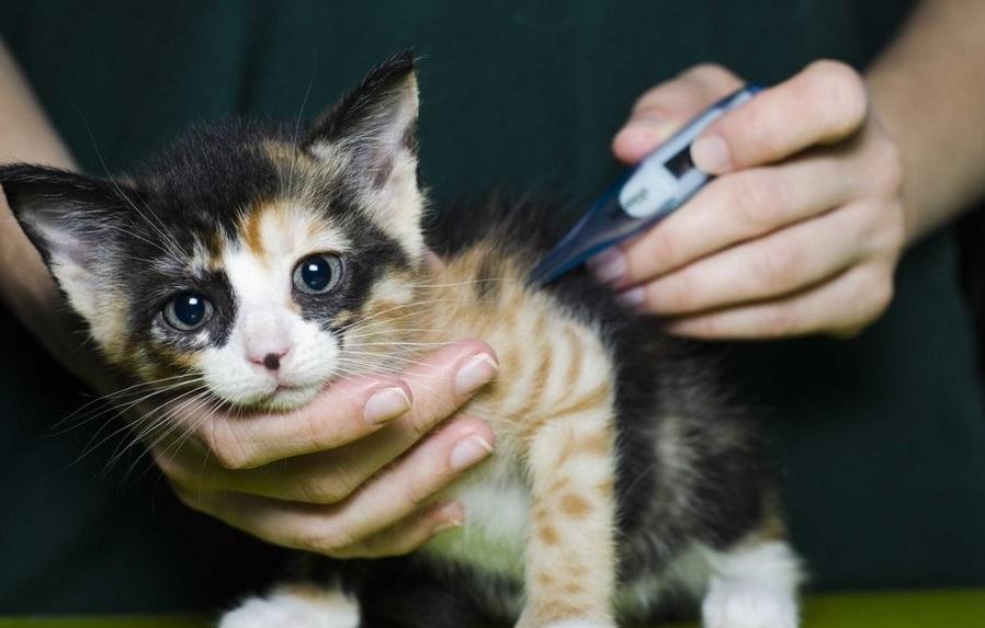 Если вы заподозрили у котенка повышенную температуру, желательно как можно раньше показать его специалисту