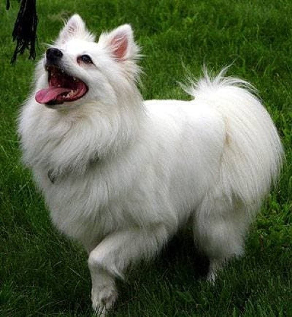 Если животное плохо переносит солнце, следует укоротить его шерсть, и проверить состояние здоровья у ветеринарного врача