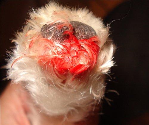 Если собака грызет свои лапы до крови - срочно обратитесь к ветеринару