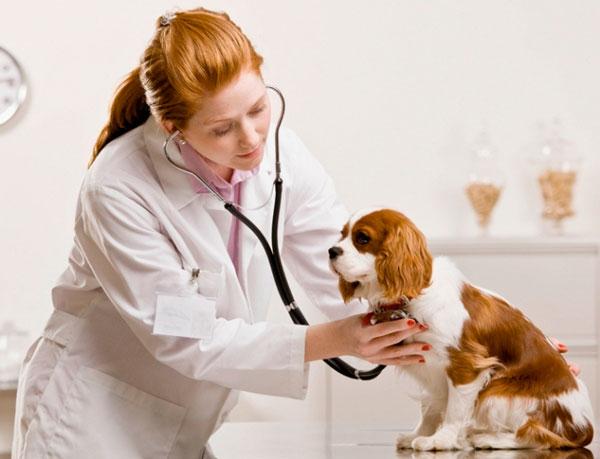 Если собака съела много шоколада, то ее стоит срочно показать врачу