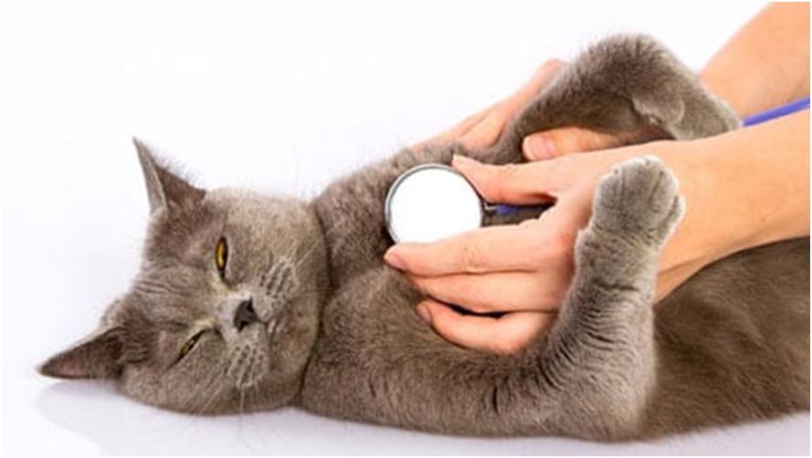 Если у вашей кошки появились булькающие звуки в области грудной клетки, затрудненное дыхание с хрипом или кашель - немедленно отвезите ее в ветеринарную клинику