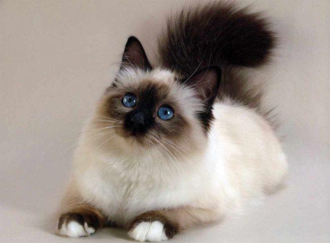 Есть у данной породы и полное название Священная бирманская кошка