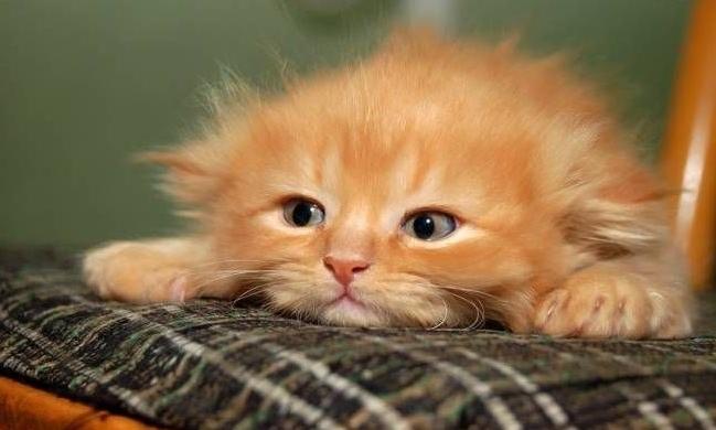 Заводить нового котенка имеет смысл только тогда, когда вы свыкнитесь с утратой прежнего питомца