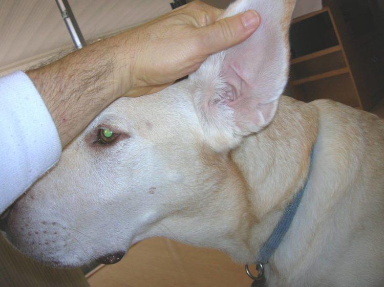 Залом на ухе собаки