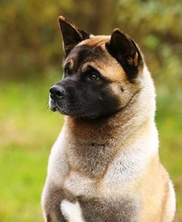 Защита хозяина - основной инстинкт этой собаки, они находятся начеку всегда и везде