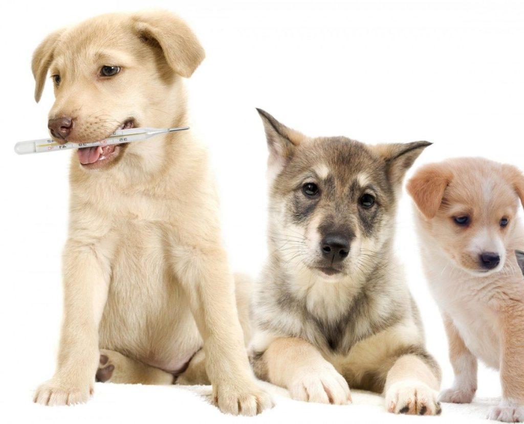 За несколько дней до прививки периодически измеряйте температуру щенку и следите за его состоянием