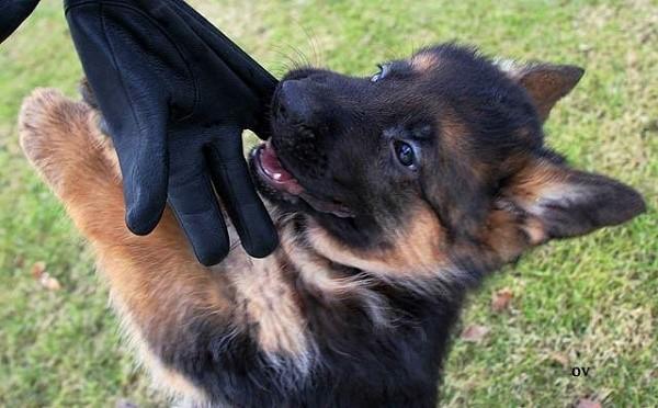 Здоровый щенок внешне соответствует требованиям стандарта породы