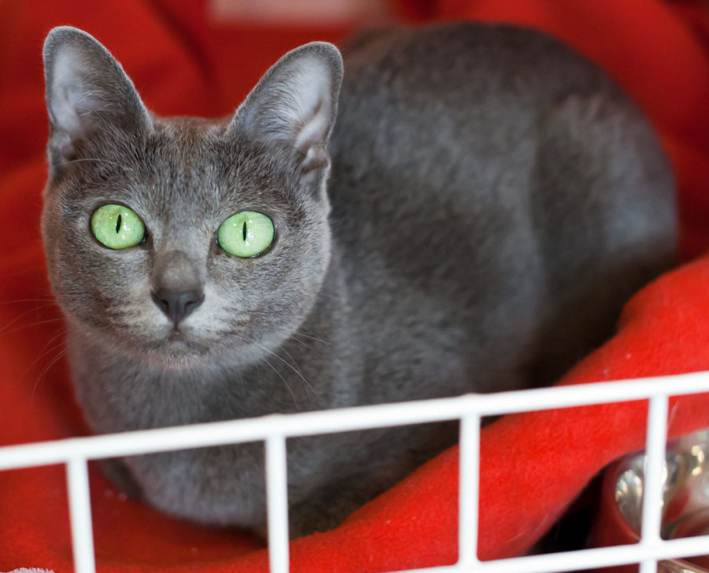 Зеленый цвет глаз, распространенный у Коратов редко встречается среди представителей кошачьих