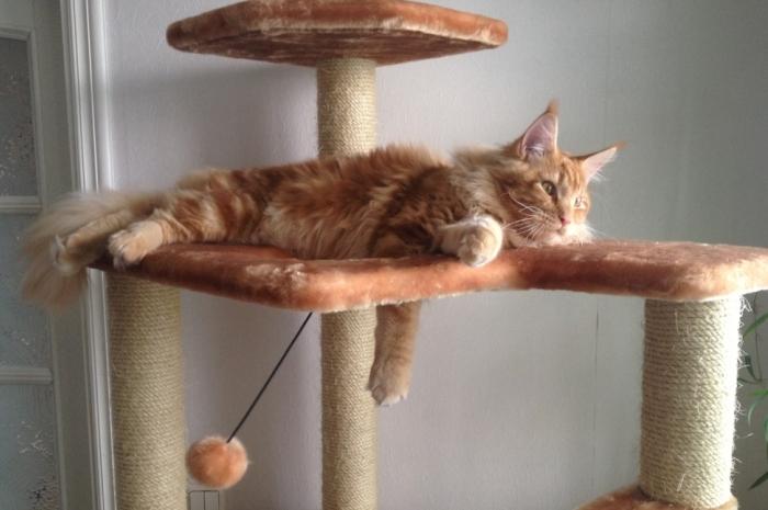 Знакомить кота с законными способами ухаживания за когтями нужно с первых месяцев жизни
