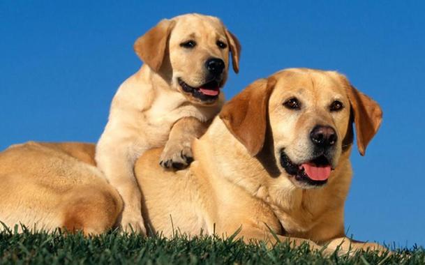Знакомство может облегчить принадлежность взрослой собаки и щенка к одной породе