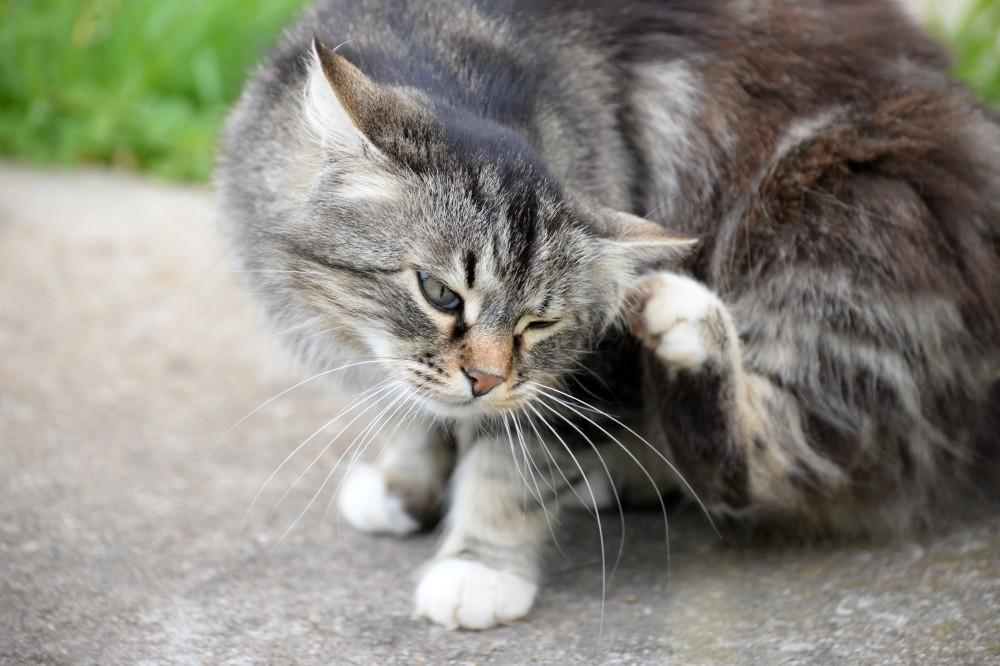 Зуд у кошки один из признаков нотоэдроза
