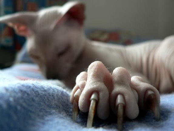 Игнорирование хозяином пятого когтя может привести к его врастанию в кожу животного