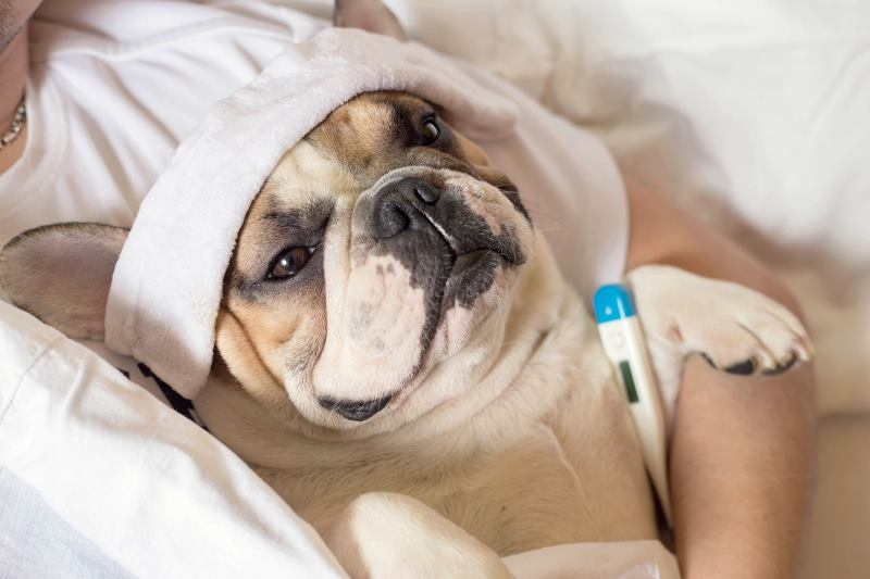 Изменения температуры могут наблюдаться как у больных, так и у здоровых собак